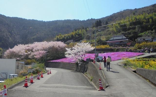 広棚の芝桜14.jpg