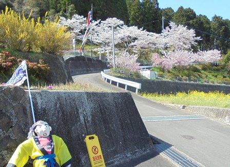 広棚の芝桜17.jpg