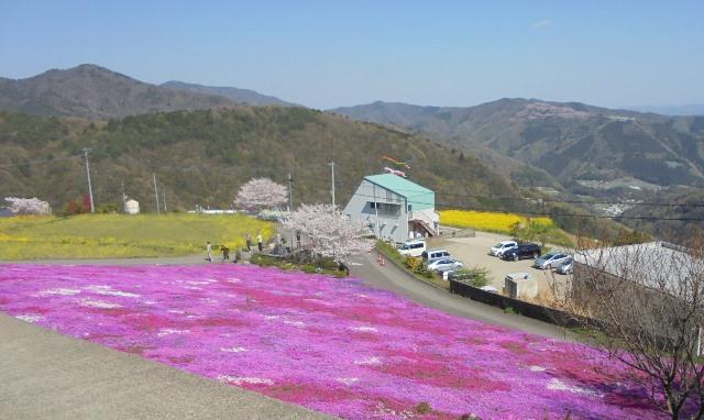 広棚の芝桜18.jpg