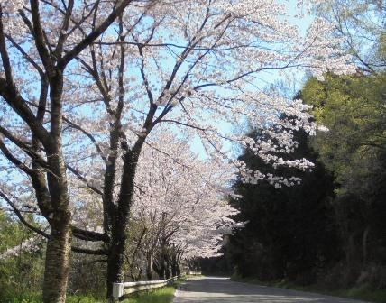 広棚の芝桜5.jpg