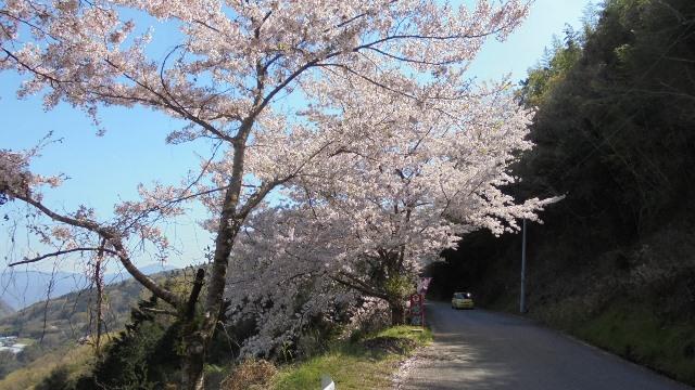 広棚の芝桜6.jpg