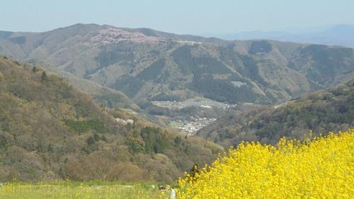 広棚の芝桜11.jpg